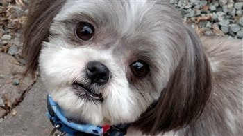 shih tzu hair styles for male adorable shih tzu hair styles 4793 | shih tzu rounded clipped face (350 x 197) min 350x197
